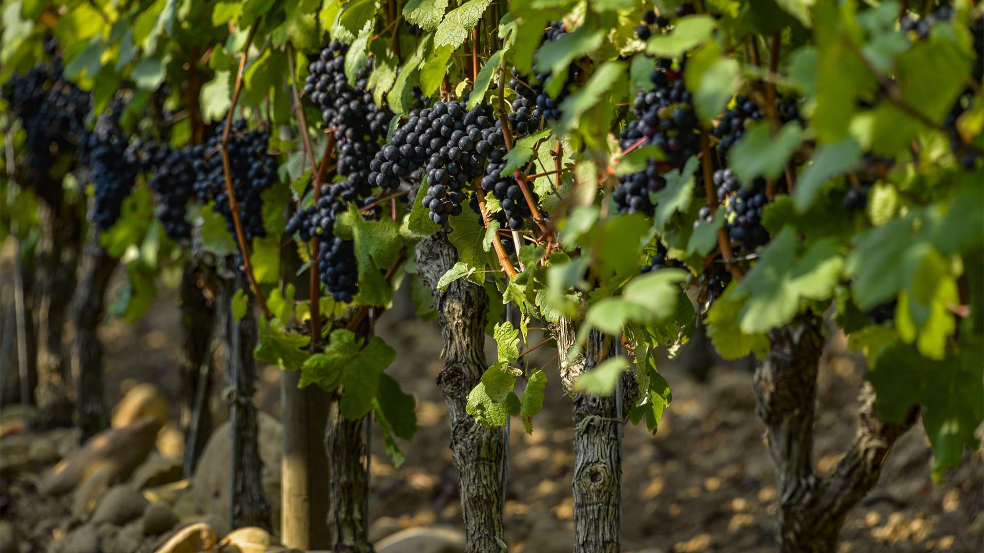 Photo rapprochée des vignes avec les grappes mûres